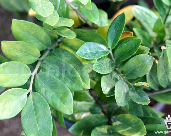 Zamia Indoor Plants