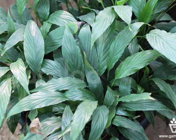 Peace Lilly Narrow Plant
